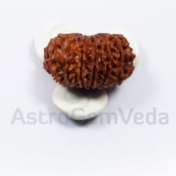 16 Mukhi Rudraksha Natural from Nepal