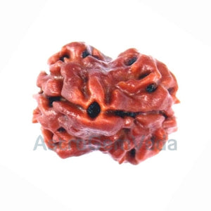 2 Mukhi Natural Rudraksha from Dehradun