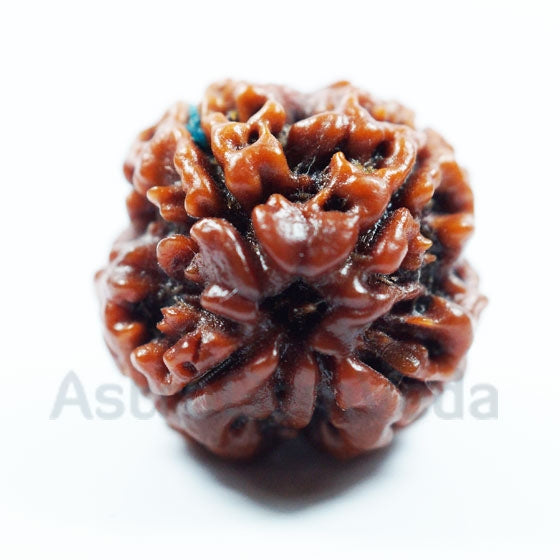4 Mukhi Rudraksha Natural from Nepal