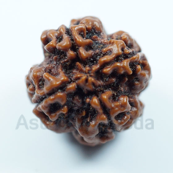 Natural 4 Mukhi Rudraksha from Nepal medium