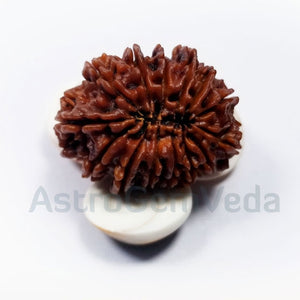 14 Mukhi Rudraksha Natural from Nepal