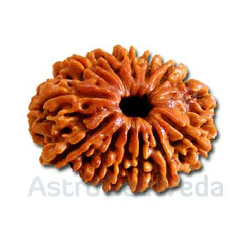 13 Mukhi Rudraksha Natural from Nepal