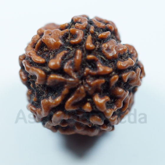 5 Mukhi Natural Rudraksha from Nepal - Small
