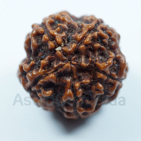 5 Mukhi Rudraksha from Nepal - Basic