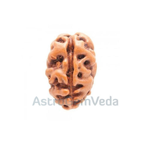 2 Mukhi Natural Rudraksha from Indonesia