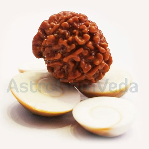 9 Mukhi /faces Ganesh  Rudraksha Natural from Nepal - Medium