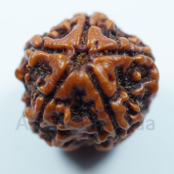 5 Mukhi Rudraksha from Nepal- Premium Luxury