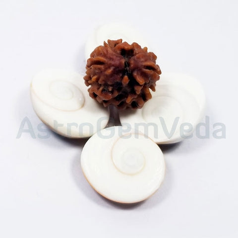 2 Mukhi Natural Rudraksha from Nepal - Luxury