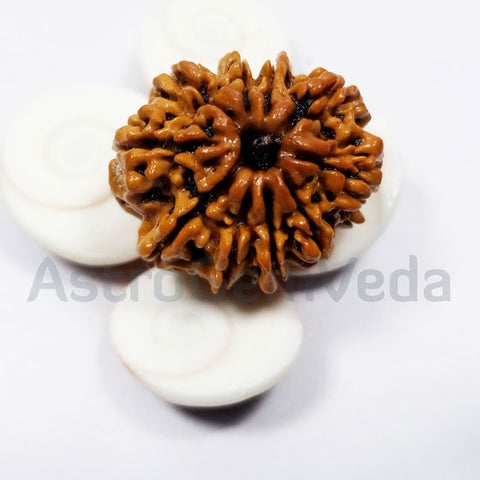 10 Mukhi Rudraksha Natural from Nepal - LUXURY