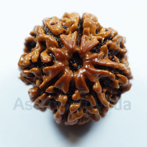 8 Mukhi Rudraksha from Nepal - Luxury Premium
