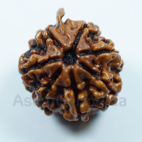 7 Mukhi Natural Rudraksha from Nepal - Medium Premium