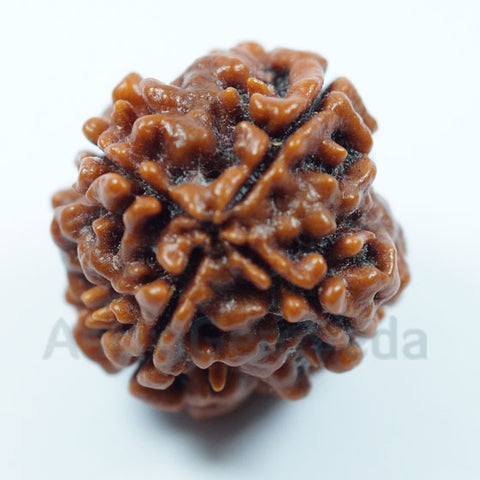4 Mukhi Rudraksha Natural from Nepal - Luxury