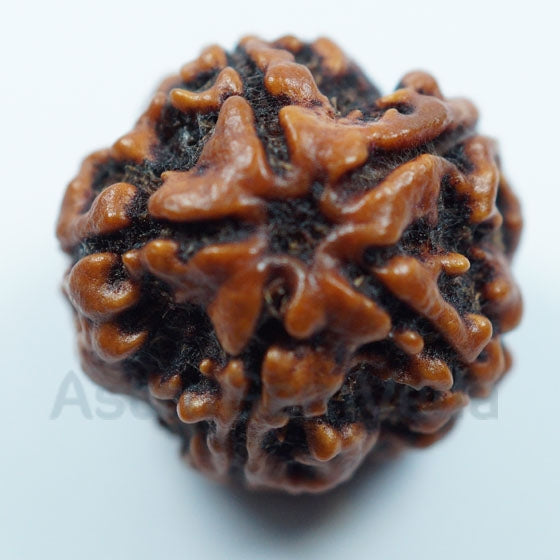 5 Mukhi Rudraksha from Nepal- Small Premium