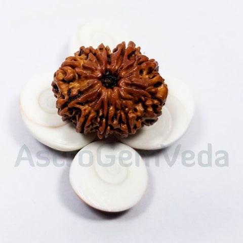 10 Mukhi /faces Rudraksha Natural from Nepal - PREMIUM LUXURY