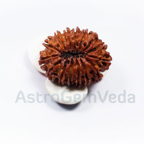 15 Mukhi Rudraksha Natural from Nepal BASIC