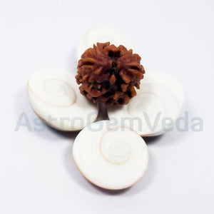 2 Mukhi Natural Rudraksha from Nepal - Basic