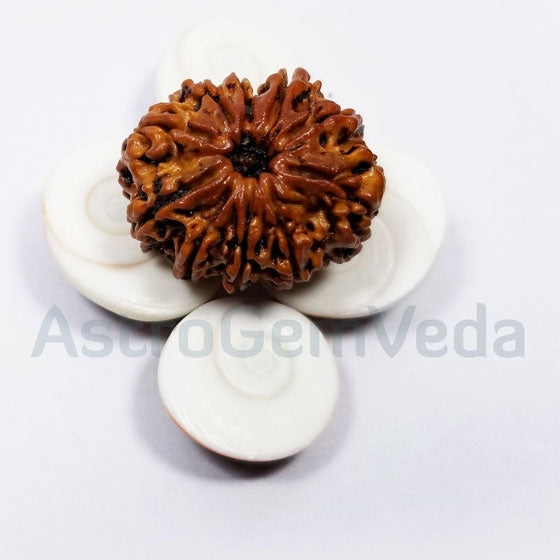 10 Mukhi Rudraksha Natural from Nepal - PREMIUM