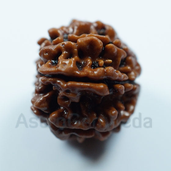 7 Mukhi Natural Rudraksha from Nepal - Medium