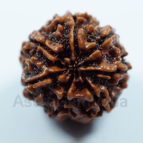 7 Mukhi Natural Rudraksha from Nepal - Basic