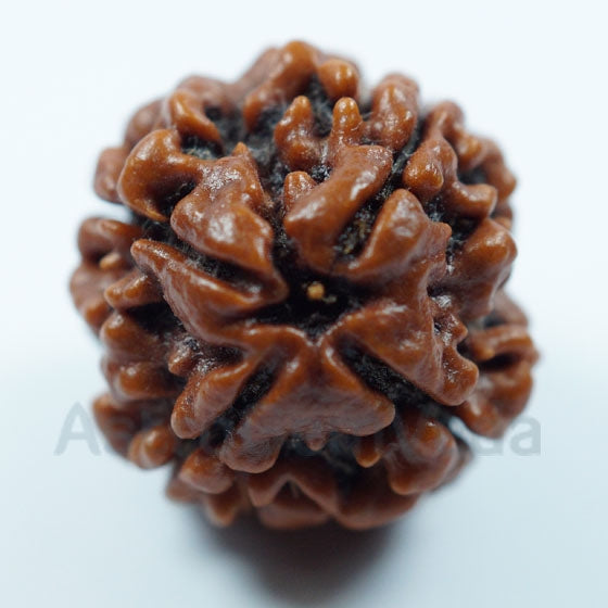 4 Mukhi Rudraksha Natural from Nepal BIG