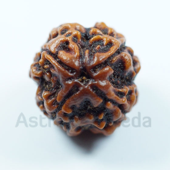 4 Mukhi Rudraksha Natural from Nepal - Luxury big