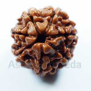 7 Mukhi Natural Rudraksha from Nepal- premium Luxury