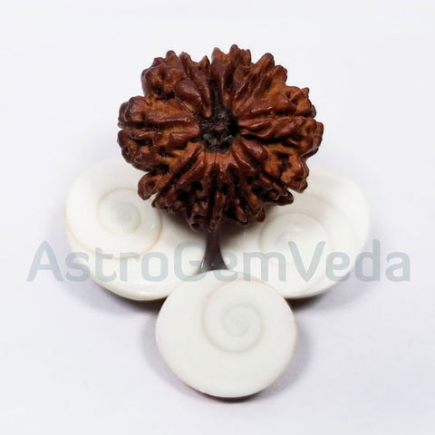 10 Mukhi Rudraksha Natural from Nepal - BASIC