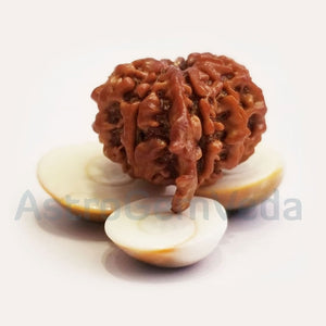 9 Mukhi /faces Ganesh  Rudraksha Natural from Nepal