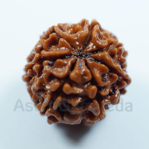 6 Mukhi Natural from Nepal - Premium
