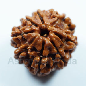 8 Mukhi Rudraksha from Nepal - Basic