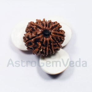 11 Mukhi Rudraksha Natural from Nepal - LUXRUY