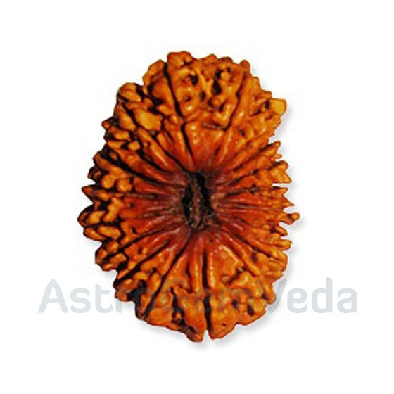 19 Mukhi Rudraksha Natural from nepal