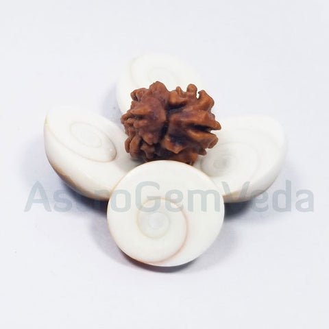 2 Mukhi Natural Rudraksha from Nepal - Premium
