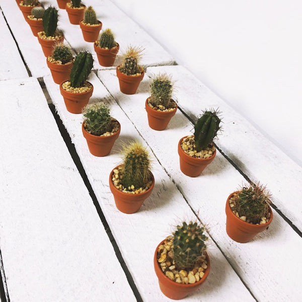 Mini Cactus Gifting Box of 20