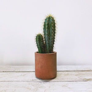 Blue Torch Cactus in Red Clay Pot