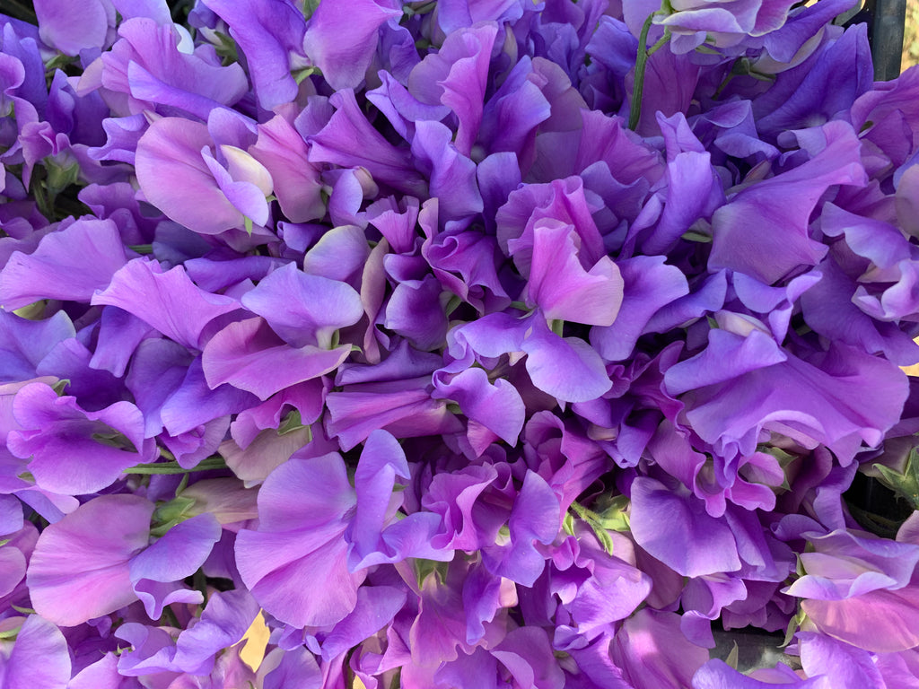 Our Harry Sweet Pea Seeds - Purple