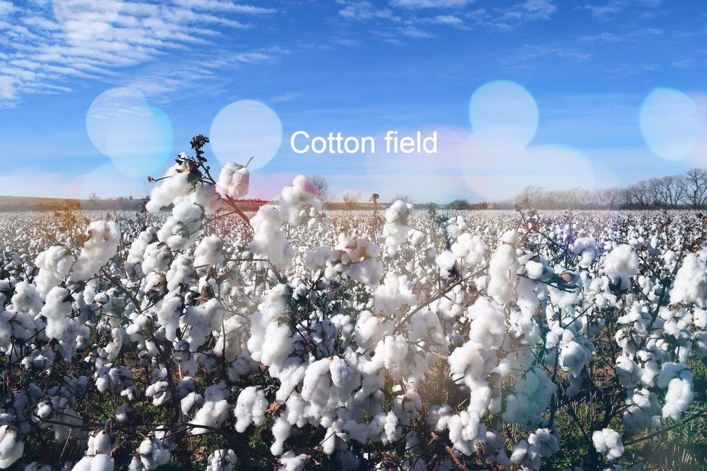 Difference between organic and conventional cotton - Anke Wonder