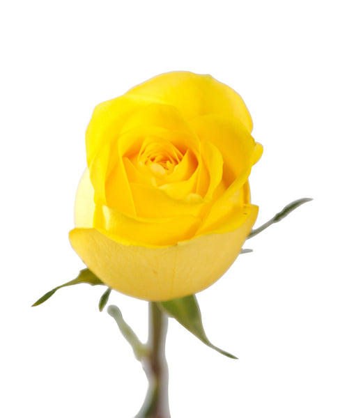 2 x 1 ROSES BUY 25 Stems Get 25 Stems FREE (25 Stems per Bunch) - Bloomsfully Wholesale Flowers