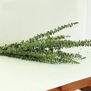 Natural Dried Eucalyptus Leaves for Arrangement (Real Eucalyptus Branches 12 Stems) - Bloomsfully Wholesale Flowers