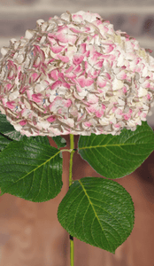 Hydrangeas Antique Pink    (16 stems) - Bloomsfully Wholesale Flowers