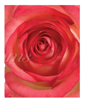 BiColor Red & White Roses (25 Stems per Bunch) - Bloomsfully Wholesale Flowers