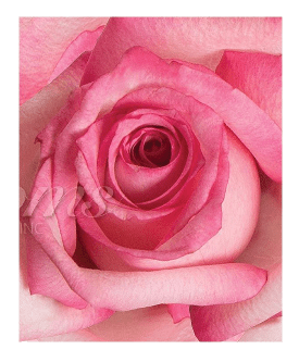 BiColor  White & Pink Roses (25 Stems per Bunch) - Bloomsfully Wholesale Flowers