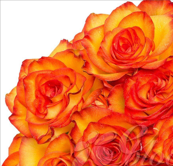 BiColor Yellow & Red Roses (25 Stems per Bunch) - Bloomsfully Wholesale Flowers