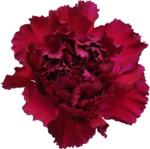 Carnations Burgundy (200 stems) - Bloomsfully Wholesale Flowers