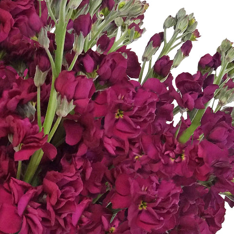Stock Burgundy  (Pack 80 stems) - Bloomsfully Wholesale Flowers