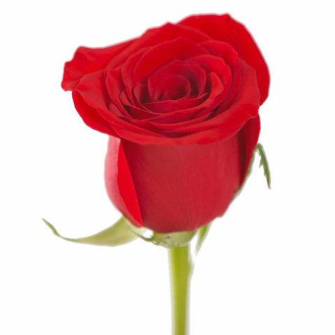 Red Roses (25 Stems per Bunch) - Bloomsfully Wholesale Flowers