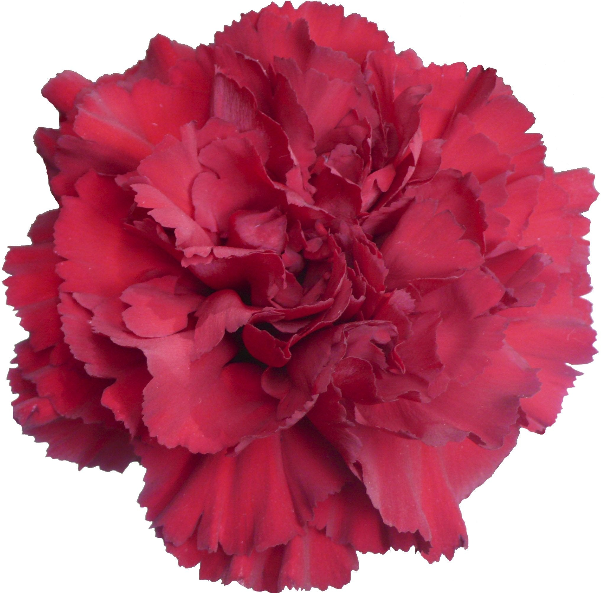 Carnations Hot Pink (200 stems) - Bloomsfully Wholesale Flowers