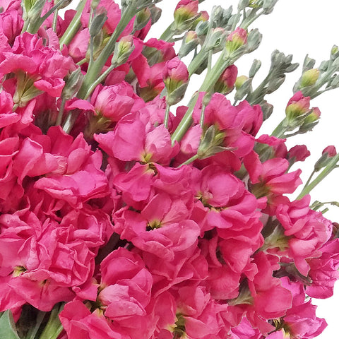 Stock Hot Pink  (Pack 80 stems) - Bloomsfully Wholesale Flowers