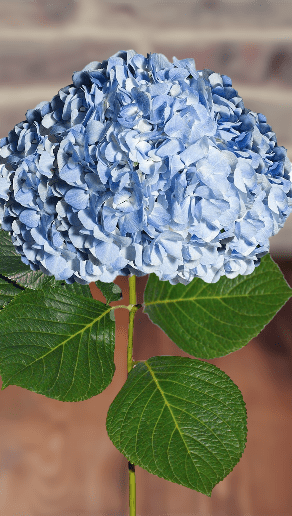 Hydrangeas Blue Select (30 Stems) - Bloomsfully Wholesale Flowers