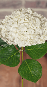Hydrangeas White Select (30 Stems) - Bloomsfully Wholesale Flowers